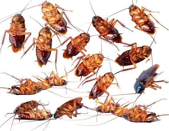Como eliminar las cucarachas remedio plantas medicinales - Remedios para eliminar cucarachas ...