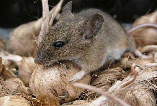 Remedios caseros para deshacerse de los ratones plantas - Como atrapar ratones ...