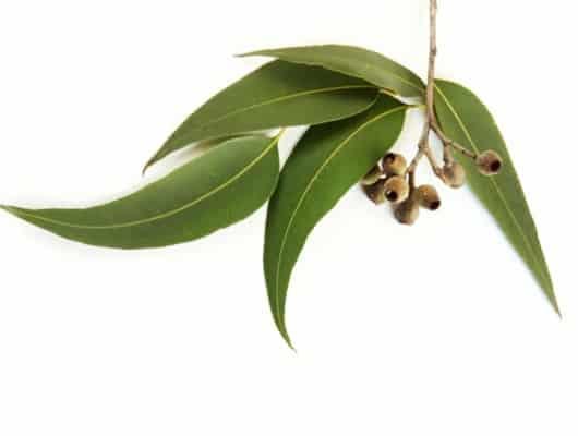 eucalipto-remedio-flema