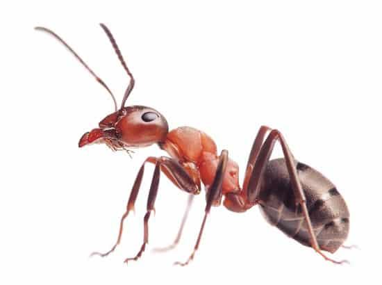 eliminar las hormigas