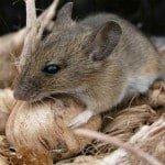 Remedios caseros para deshacerse de los ratones