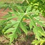 hoja-lechosa-remedio-chikungunya
