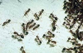 hormigas nido