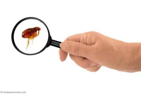 13 remedios caseros para eliminar las pulgas plantas - Matar pulgas en casa ...