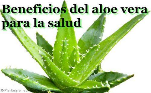Aloe vera y sus 33 beneficios para la salud plantas medicinales remedios caseros medicina - Como es la planta de aloe vera ...