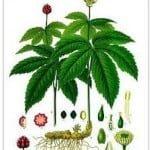 sello de oro planta