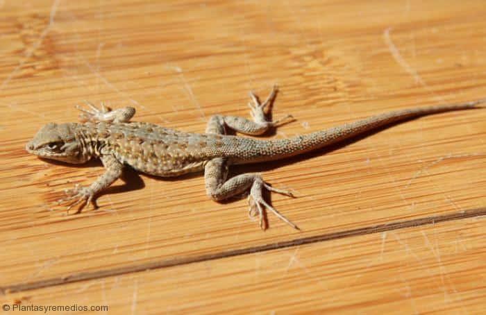 Remedios caseros para espantar los lagartos