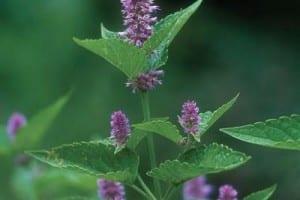 Anis hisopo propiedades planta