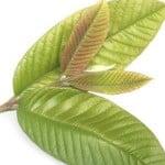 Quitar un dolor de muelas con hojas de guayaba