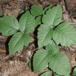 Remedios caseros efectivos para la hiedra venenosa , roble venenoso