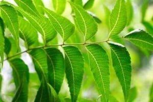 Tratar la diabetes con hojas de neem