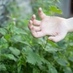 Remedios con hierbas para las picadura de mosquito
