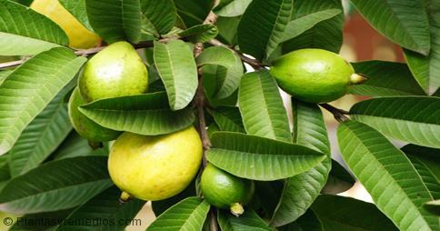 propiedades medicinales de hojas de guayaba
