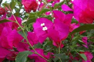 Remedio para la tos con hierba Bugambilia