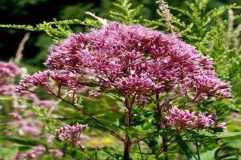Flor Púrpura Malezas Joe Pye para los cálculos renales