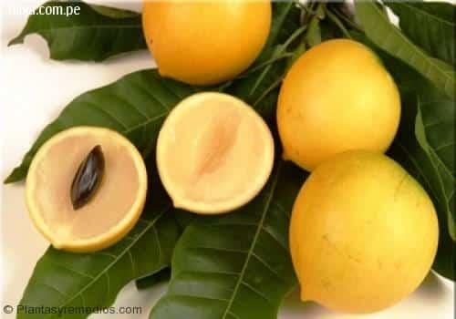 Abiu y sus beneficios para la salud -Plantas Medicinales ...
