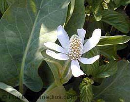 Flor de hierba del manso