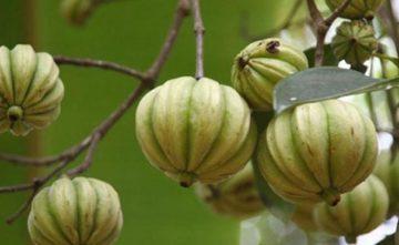 Remedio ayurvedico con carcinia cambogia (Vrikshamla) para bajar de peso