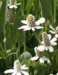 Hierba del manso , Yerba manso propiedades medicinales