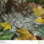 Beneficios de las hojas y corteza de Abedul