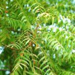 Neem: Un remedio casero para la sarna