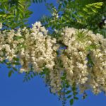 Flor blanca : propiedades medicinales ,beneficios , usos