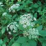 Angélica Menor – Aegopodium podagraria – usos y propiedades medicinales