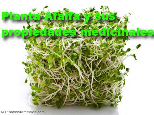 Alfalfa y sus propiedades medicinales plantas medicinales for Planta decorativa propiedades medicinales