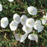 Correhuela – Campanilla propiedades medicinales