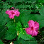 Jalapa y sus propiedades medicinales