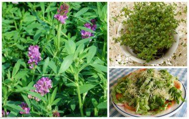 hoja de alfalfa contiene vitaminas esenciales, incluyendo todo el espectro de vitaminas B, A, D, E y K. hoja de alfalfa es una fuente de hierro, niacina, biotina, ácido fólico, calcio, magnesio, fósforo y potasio
