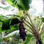 Propiedades medicinales de la planta de plátano
