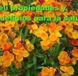 Planta Alelí : Propiedades medicinales
