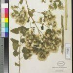 Hierba prodigiosa (Brickellia cavanillesii) Propiedades medicinales