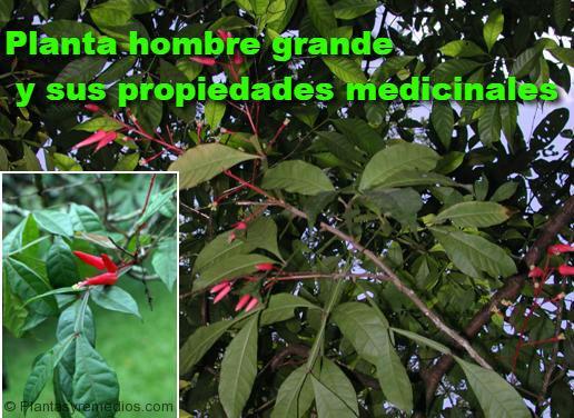 Hombre grande y sus propiedades medicinales plantas for Planta decorativa propiedades medicinales