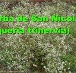 Hierba de San Nicolás ( Piqueria trinervia)