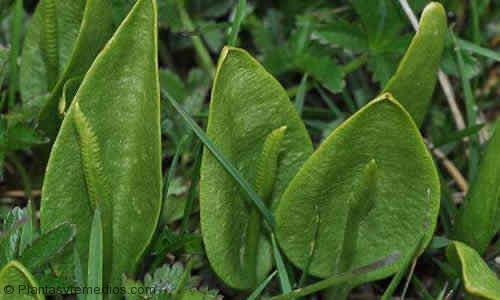 usos del alcornoque lengua de serpiente propiedades medicinales