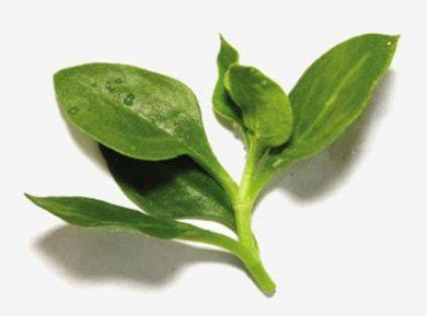Andrographis paniculata propiedades medicinales