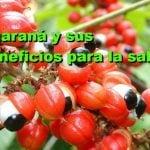 Planta guaraná : usos , propiedades medicinales y efectos secundarios