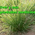 Vetiver (Chrysopogon zizanioides) Propiedades medicinales