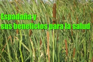 Espadaña usos y beneficios para la salud