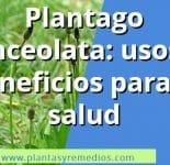 Plantago lanceolata – Propiedades medicinales