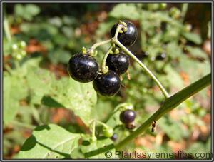 Solanum nigrum - hierba mora