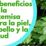 15 beneficios de la artemisa para la piel, cabello y la salud