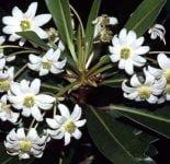 Hierba canelo y sus propiedades medicinales