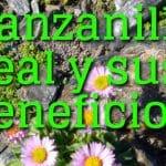 Manzanilla real (Artemisia granatensis) propiedades medicinales