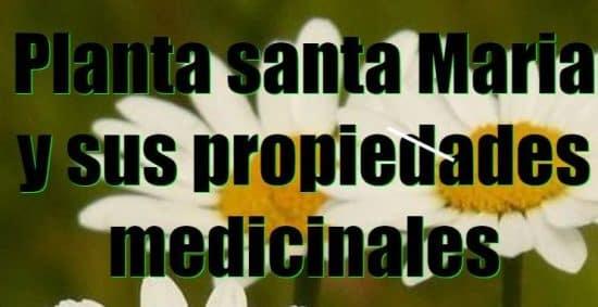 Hierba santa maría : propiedades medicinales -Plantas Medicinales ...