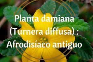 Planta damiana (Turnera diffusa) Afrodisíaco antiguo