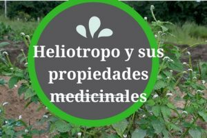 Planta heliotropo y sus propiedades medicinales