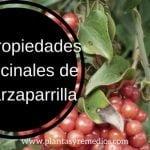 15 Propiedades de la zarzaparrilla (Smilax aspera)
